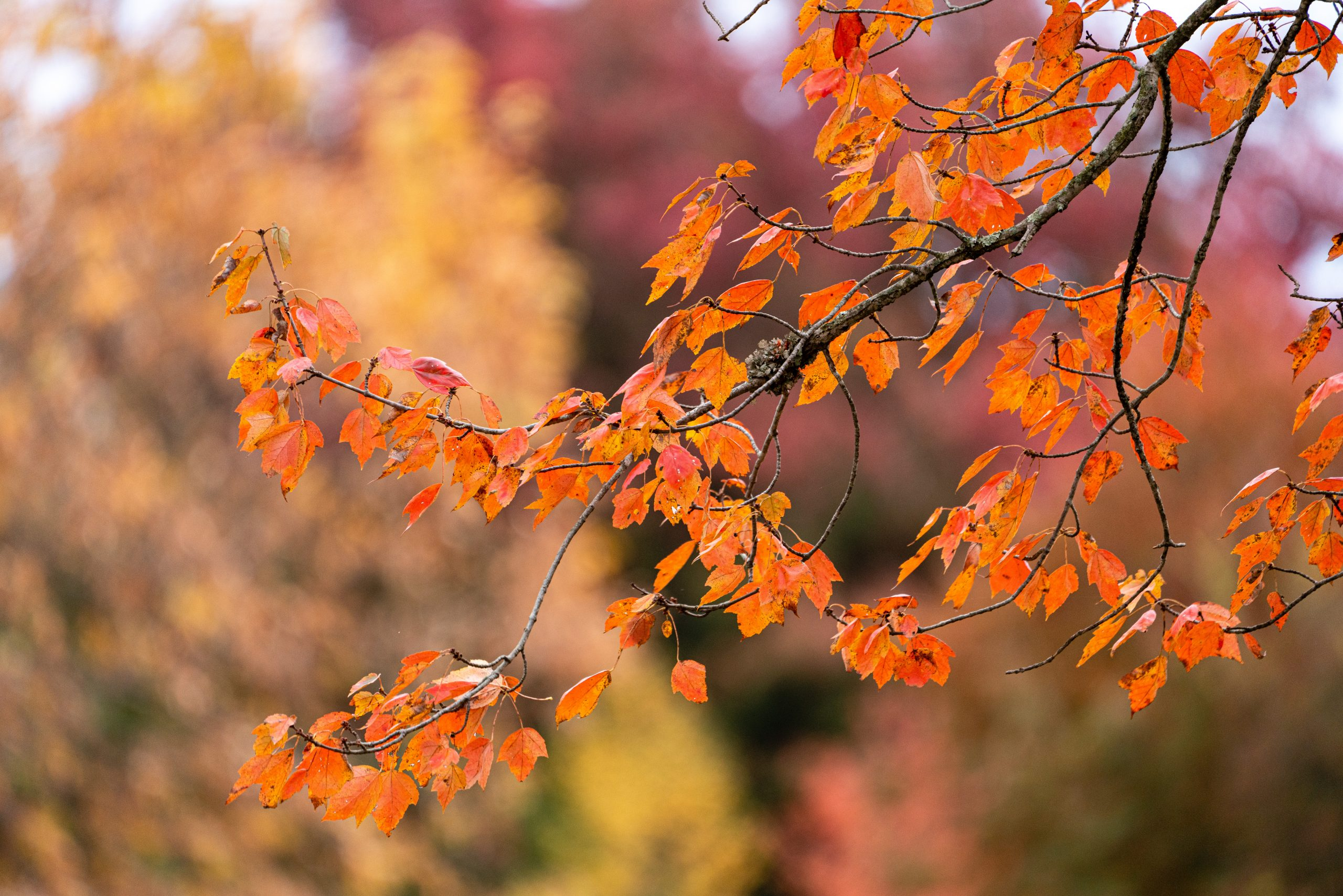 Orange leaves on tree branches.