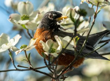 A robin sits in a tree blooming in springtime.