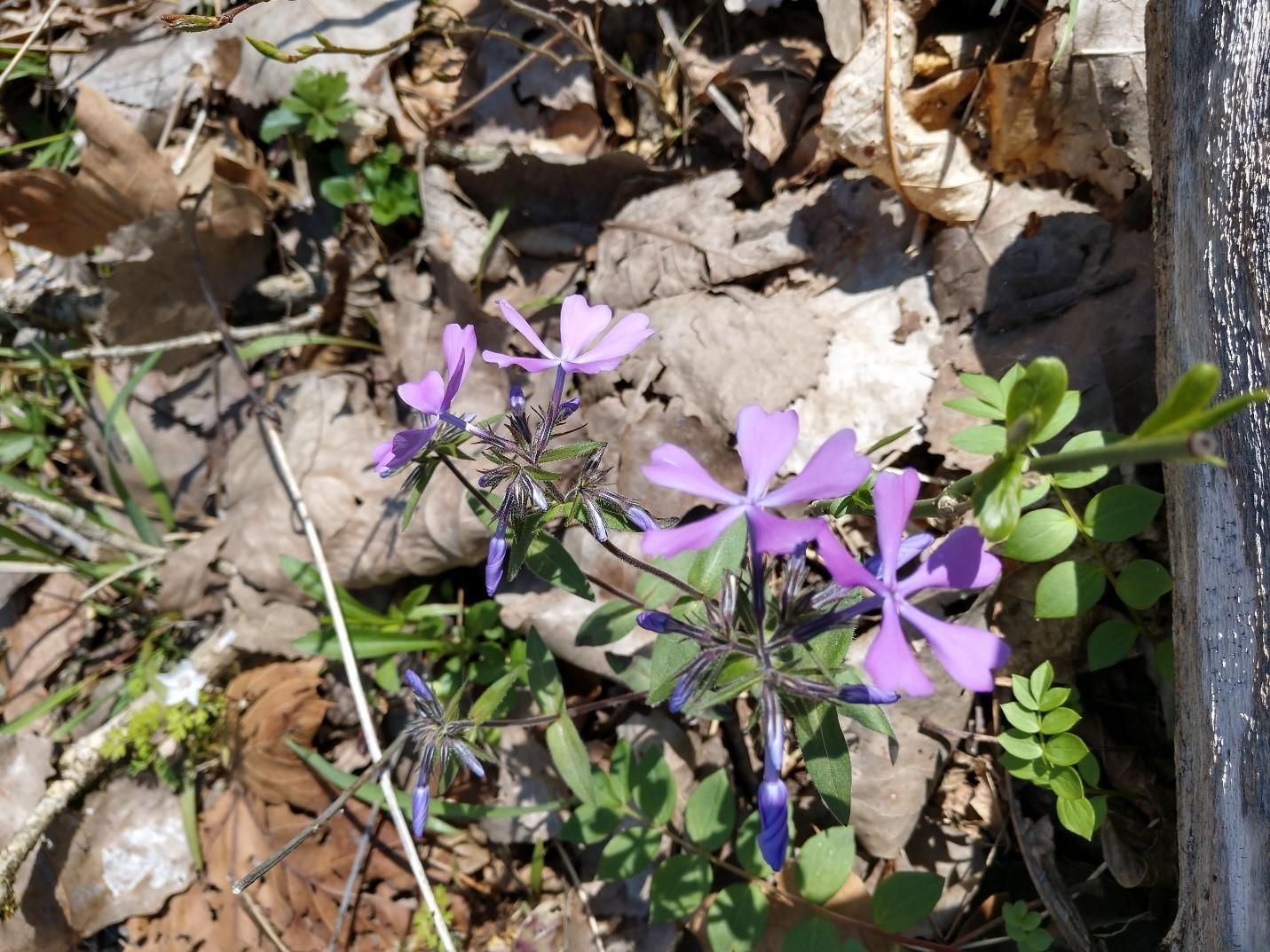 Wild Blue Phlox (Phlox divaricata)