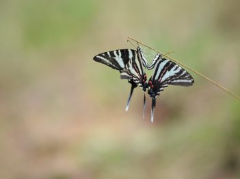 Two zebra butterflies perching.