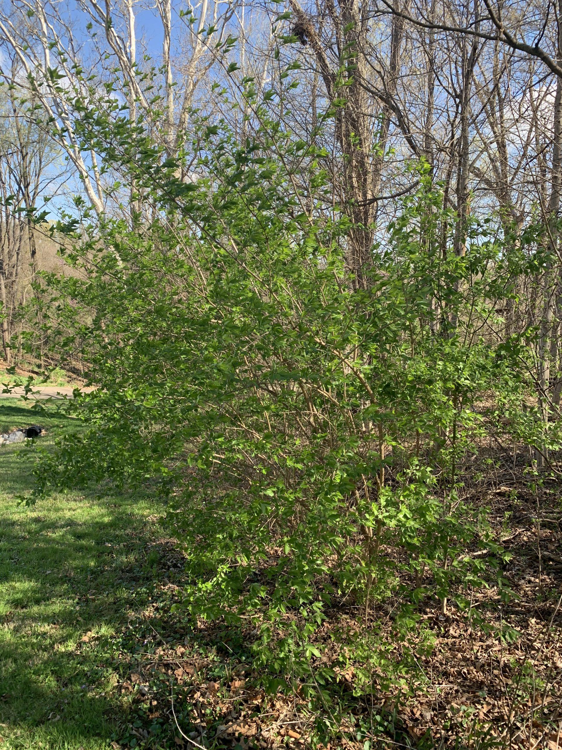 Bush Honeysuckle (Lonicera tatarica)
