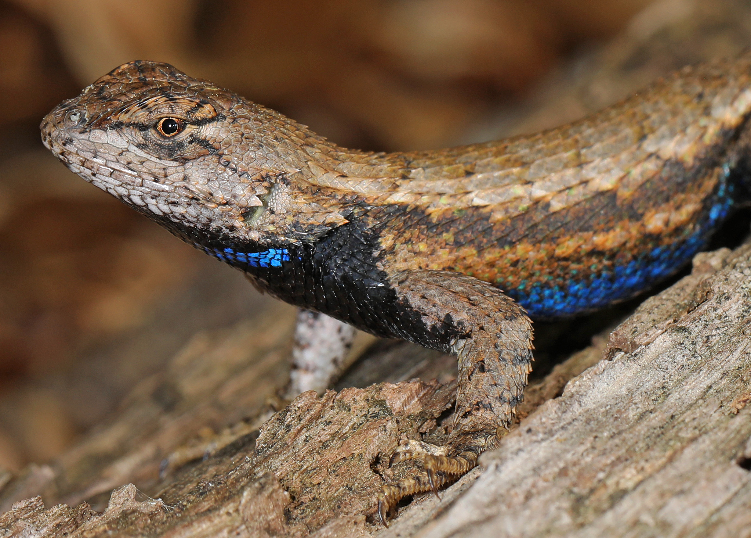 Eastern Fence Lizard (Sceloporus undulatus) head and torso, showing the bright, iridescent blue scales on its belly. Photo courtesy flickr user Judy Gallagher.