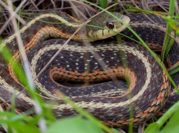 An eastern garter snake hides in the grass.