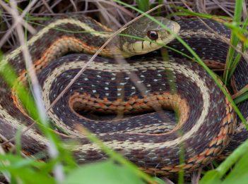 An eastern garter snake hides in the grass.