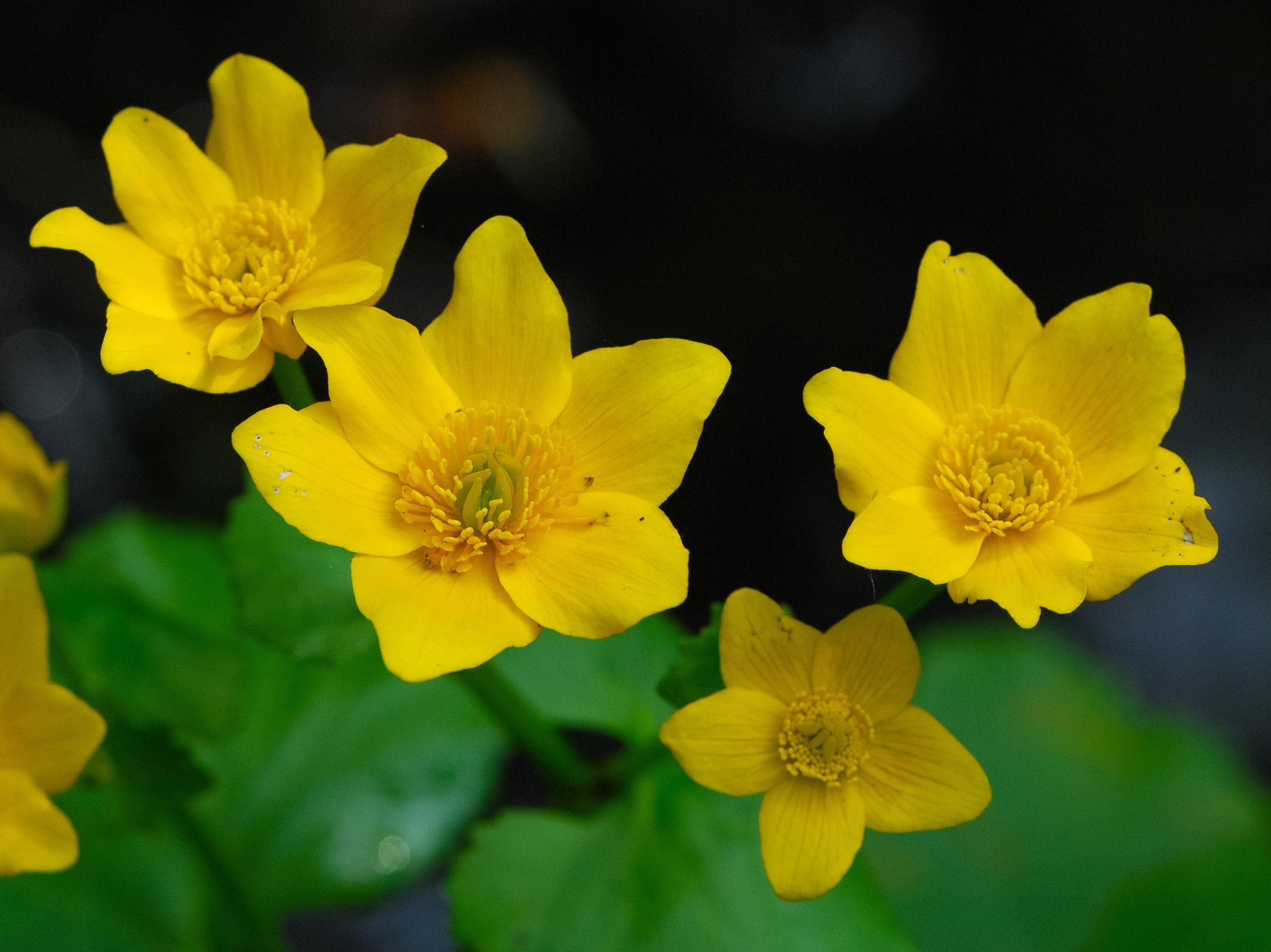 Marsh Marigold (Caltha palustris). Photo courtesy flickr user Joshua Mayer.