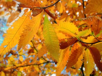 Orange and yellow leaves of an American chestnut tree.