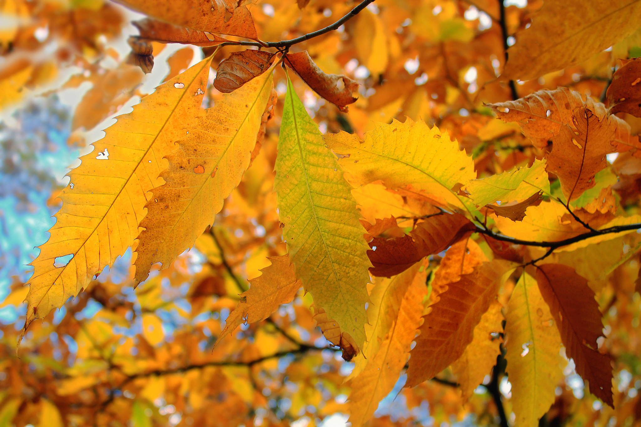 The orange and yellow leaves of the American Chestnut Tree in fall.