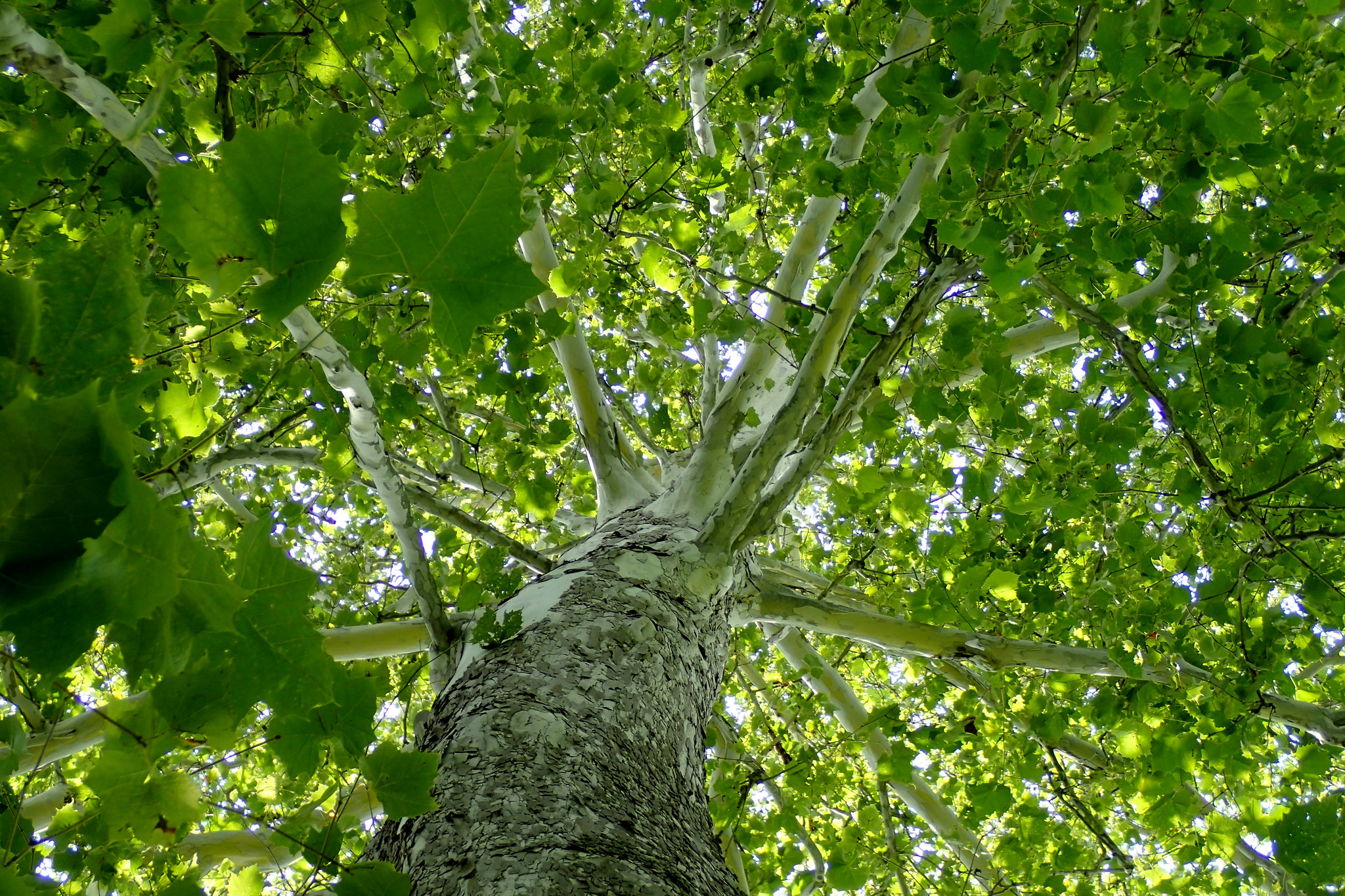 An American Sycamore (Platanus occidentalis) shows its expansive tree canopy coverage