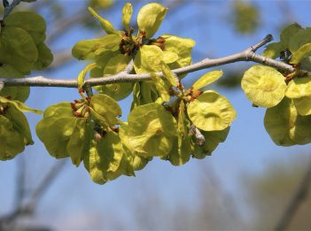 The green discs of a slippery elm tree