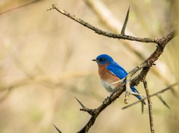 An eastern bluebird perches on a spiky tree branch.