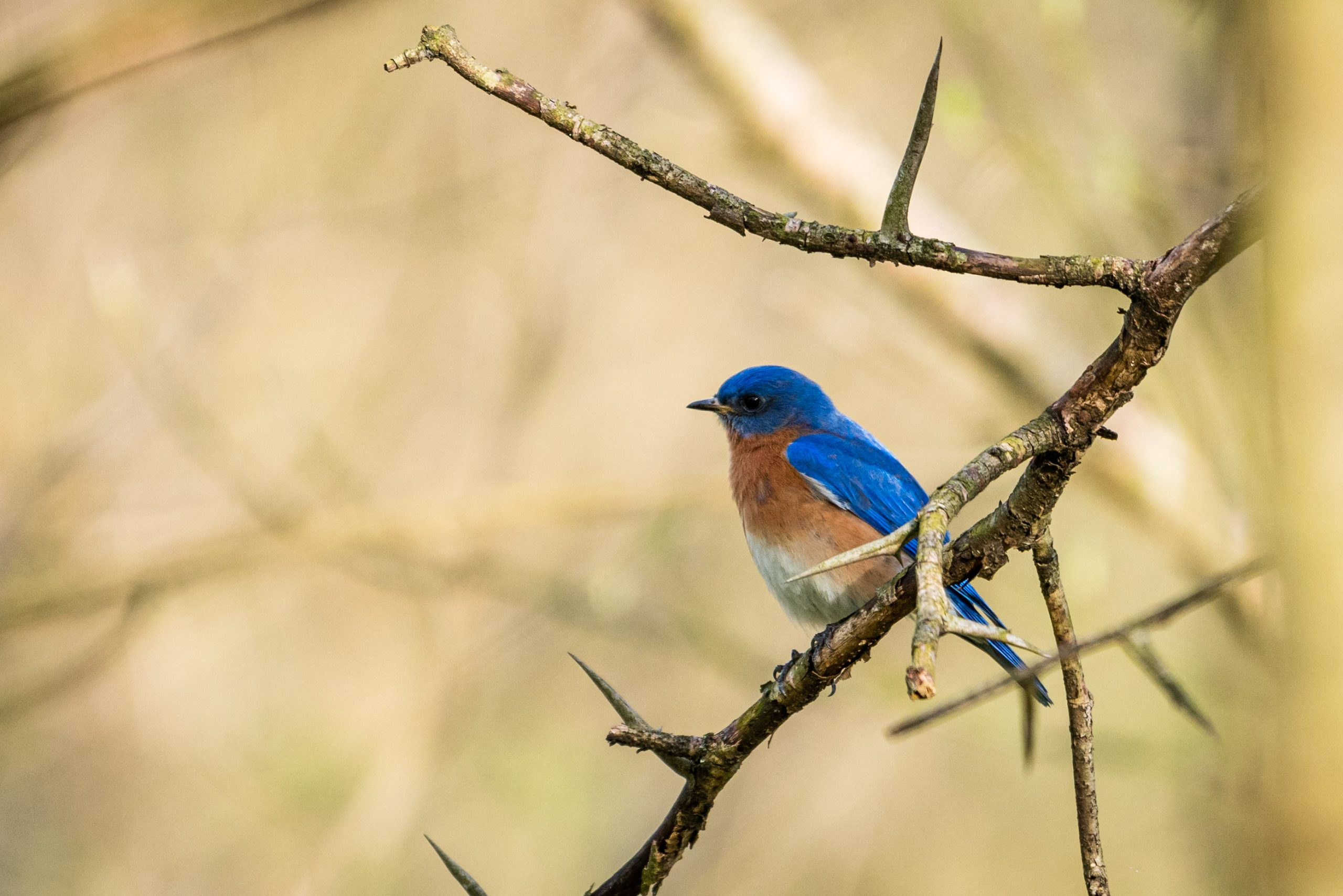 An eastern bluebird perches on a spiky tree branch in Glenwood Gardens.