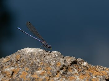 A dragonfly sits on a rock.