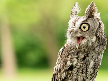 An eastern screech owl has its beak open, mid-call.