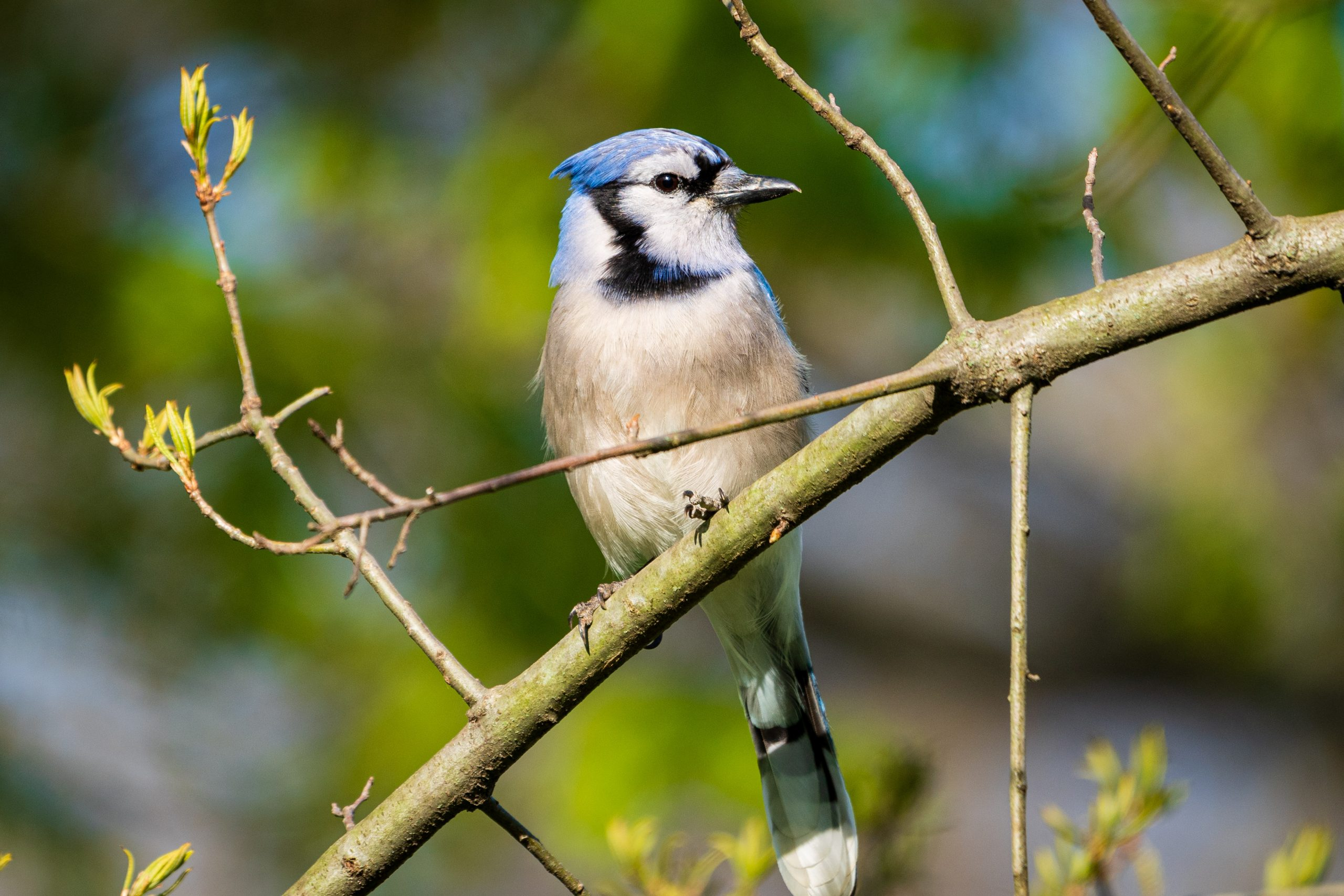 A blue jay sits on a branch.