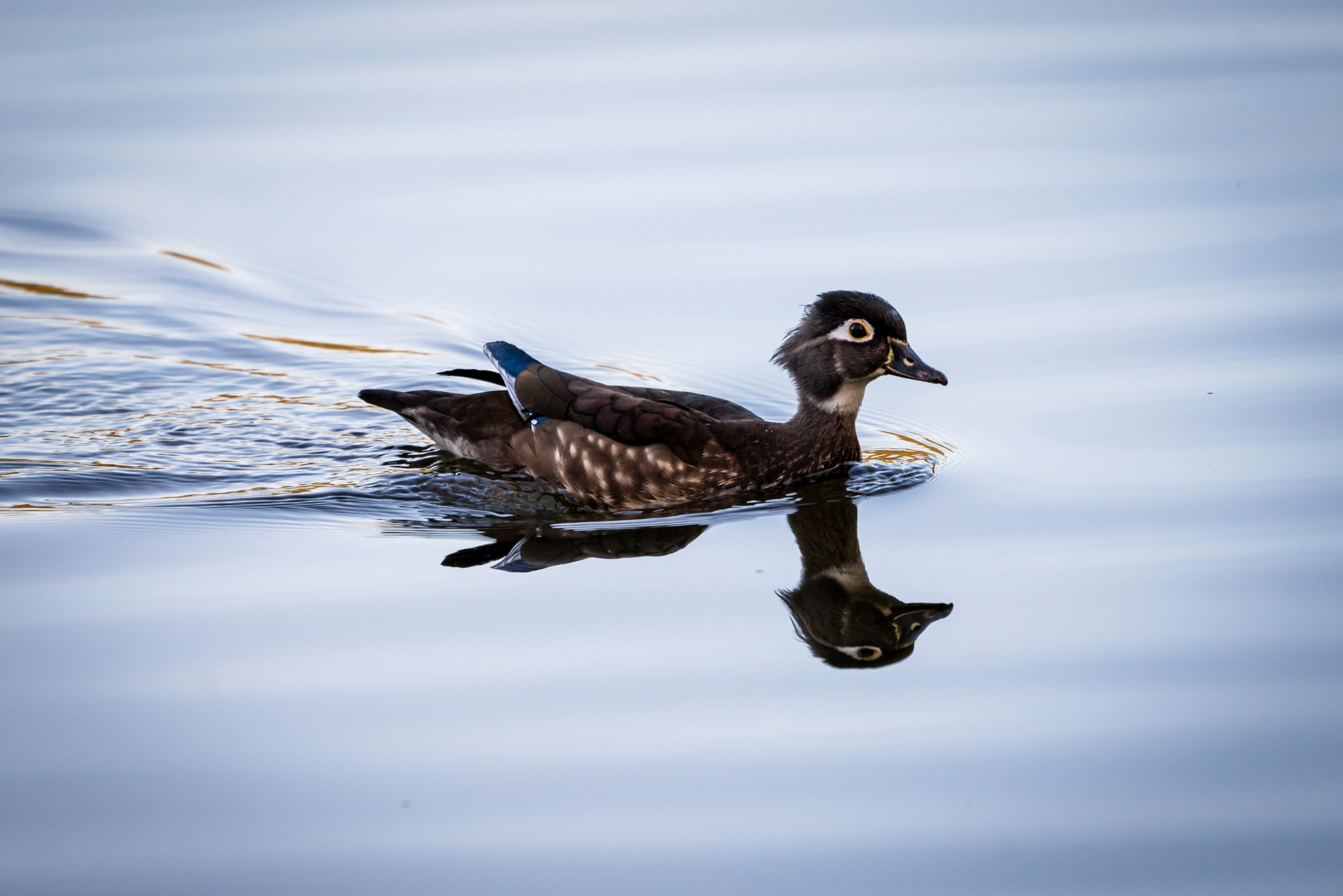 A female wood duck