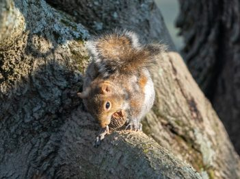 A squirrel works to open a walnut during a sunny spring afternoon in Winton Woods.