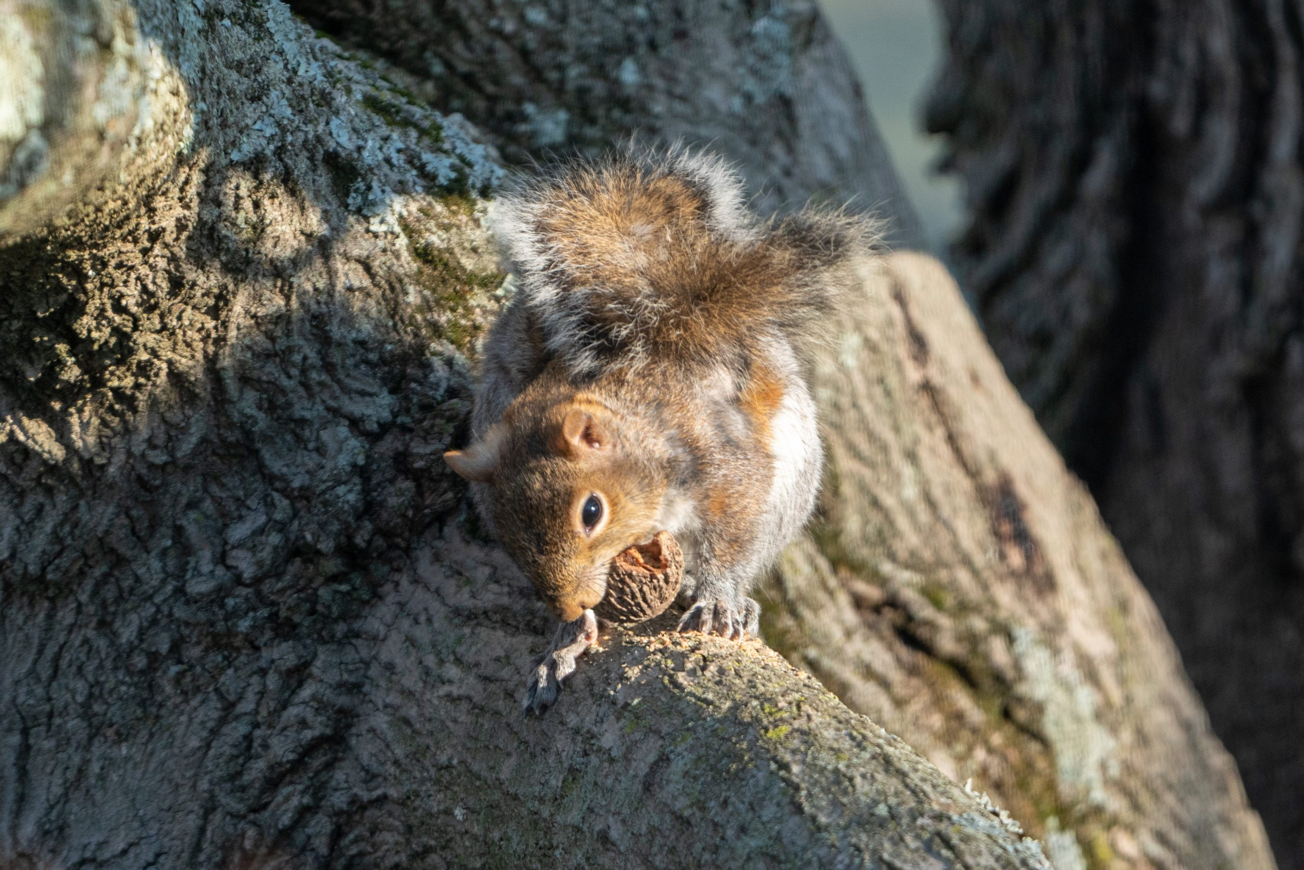A squirrel sits in a tree, working to crack open a walnut.