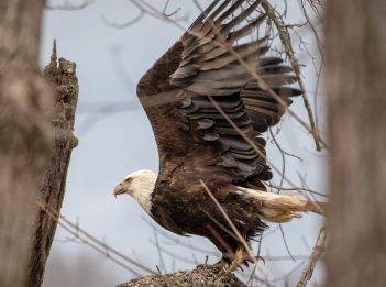 A bald eagle spreads its wings, preparing to to take flight from a tree.
