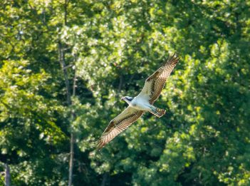 An osprey flies by trees at Winton Lake on a sunny afternoon.