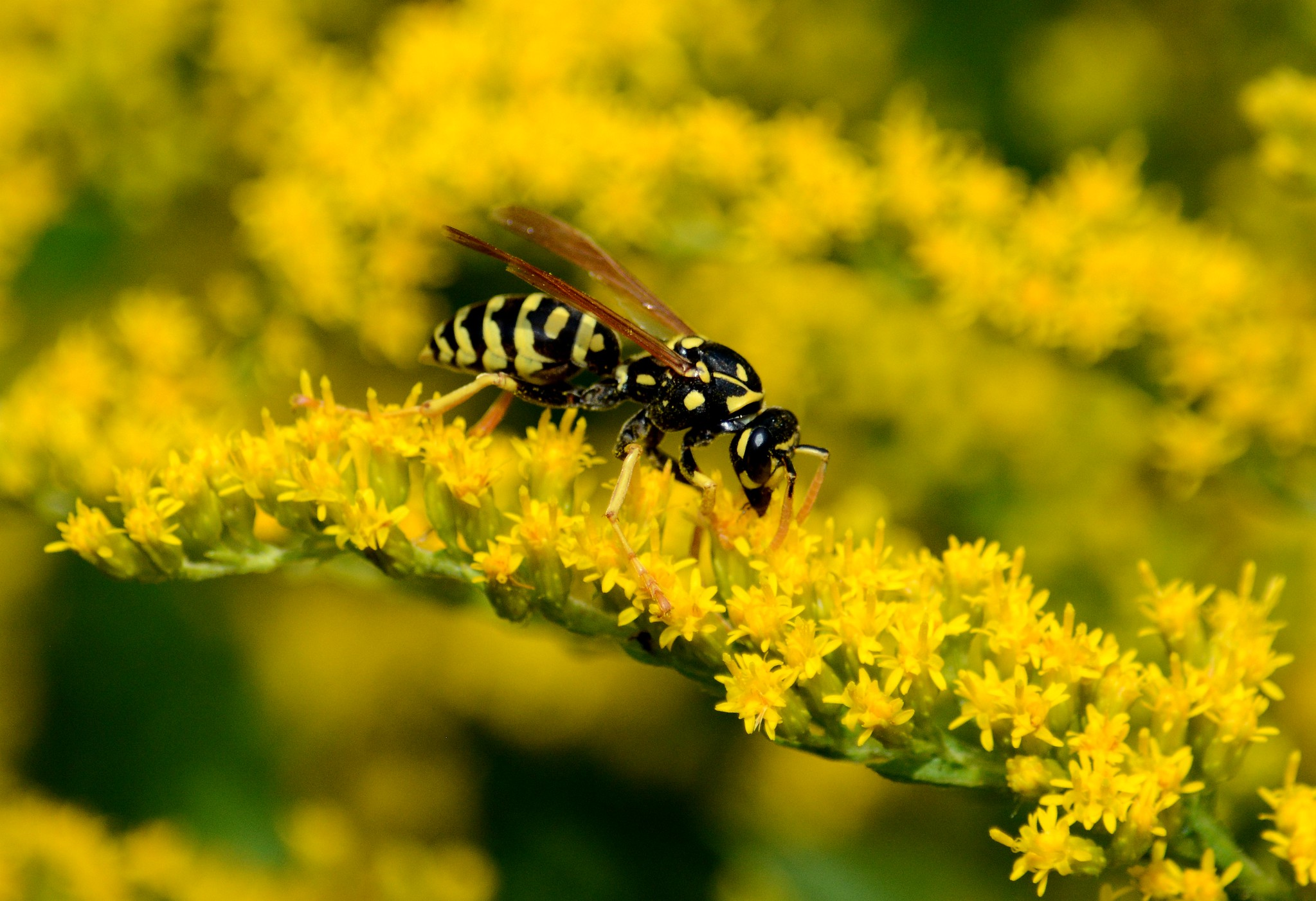 European paper wasp on goldenrod plant.