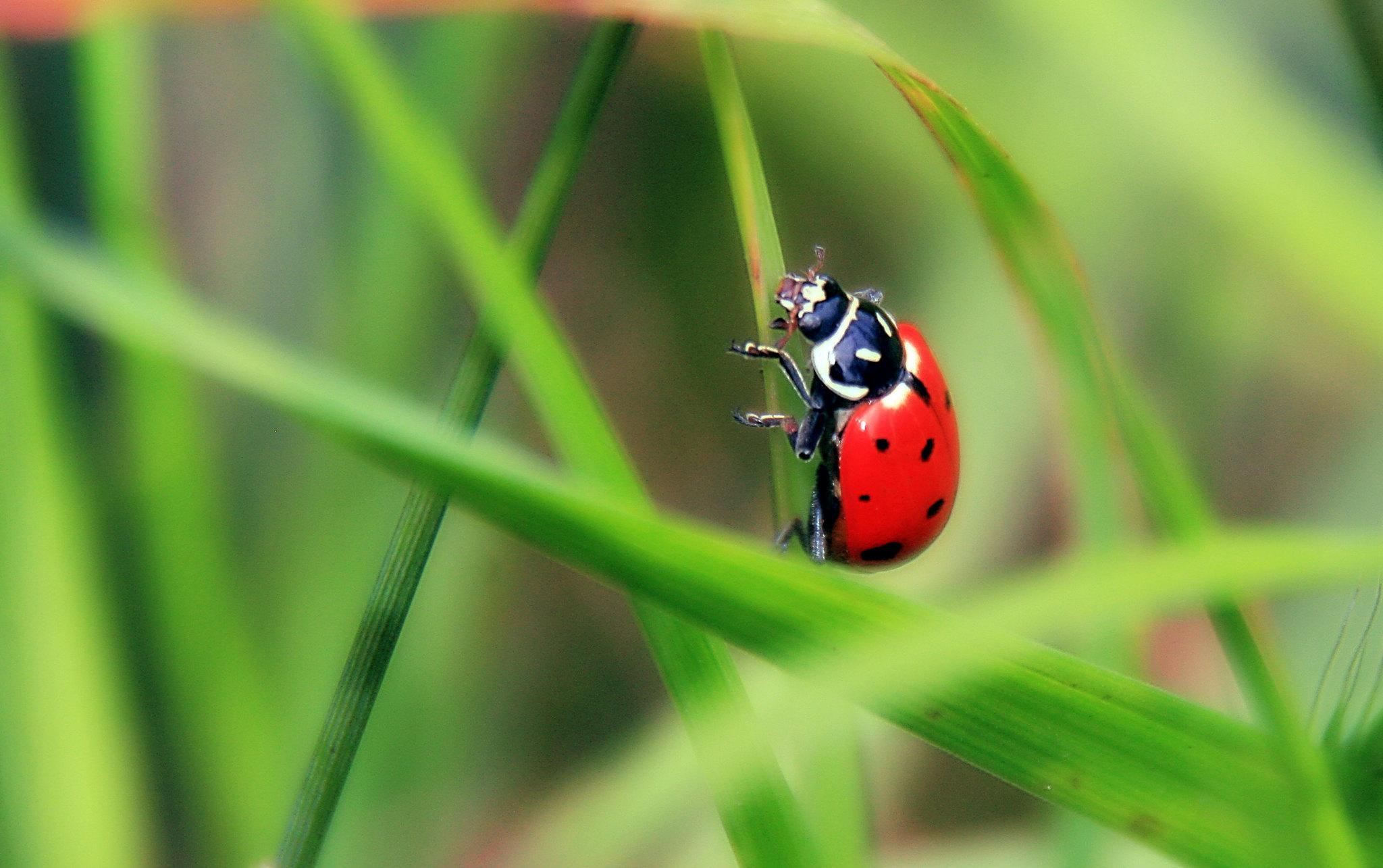 Convergent ladybug