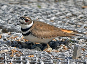 A female killdeer sits on her nest.