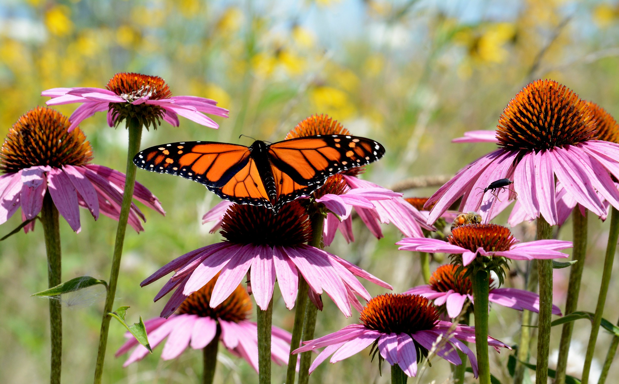 A monarch butterfly and a honey bee sit on purple coneflowers.