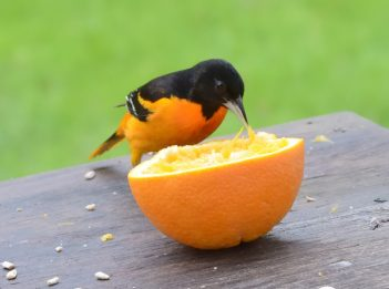 An orange and black male Baltimore oriole gapes an orange.