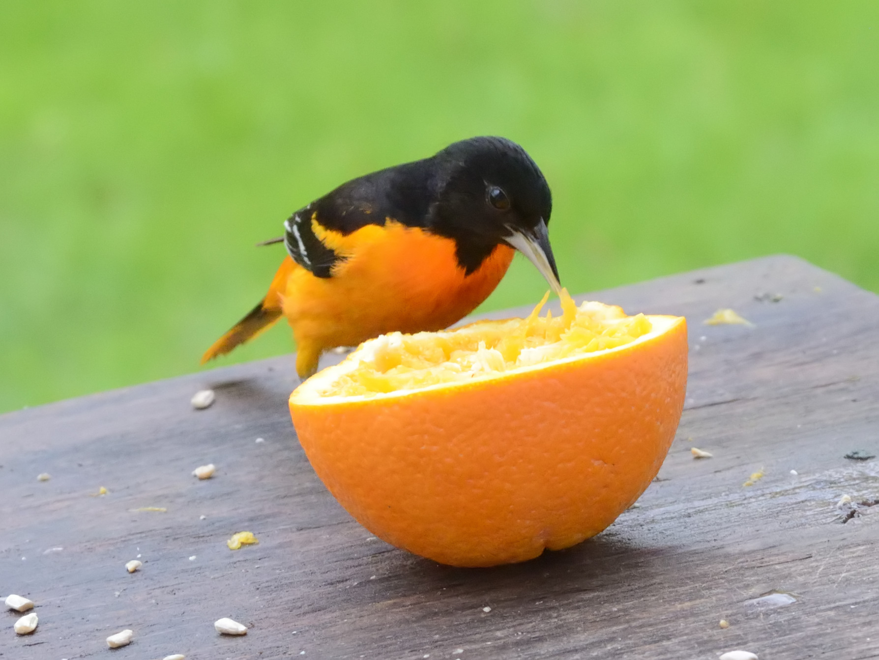 A male Baltimore oriole gaping an orange.