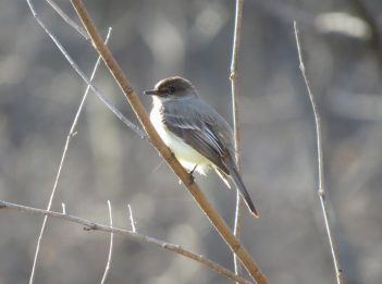 An eastern Phoebe sits on a branch.
