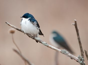 A pair of tree swallows sit on a branch.