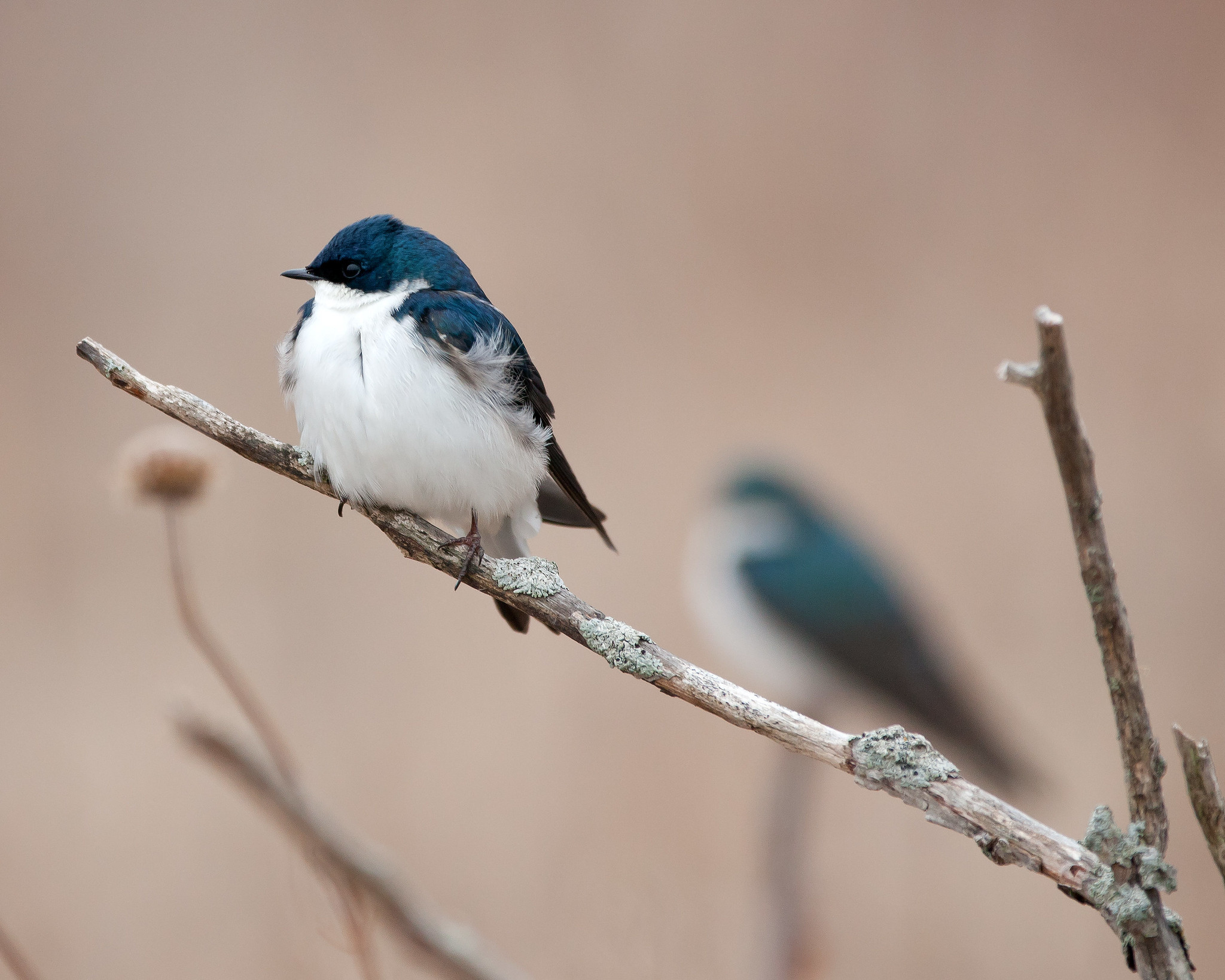 A tree swallow sits on a branch