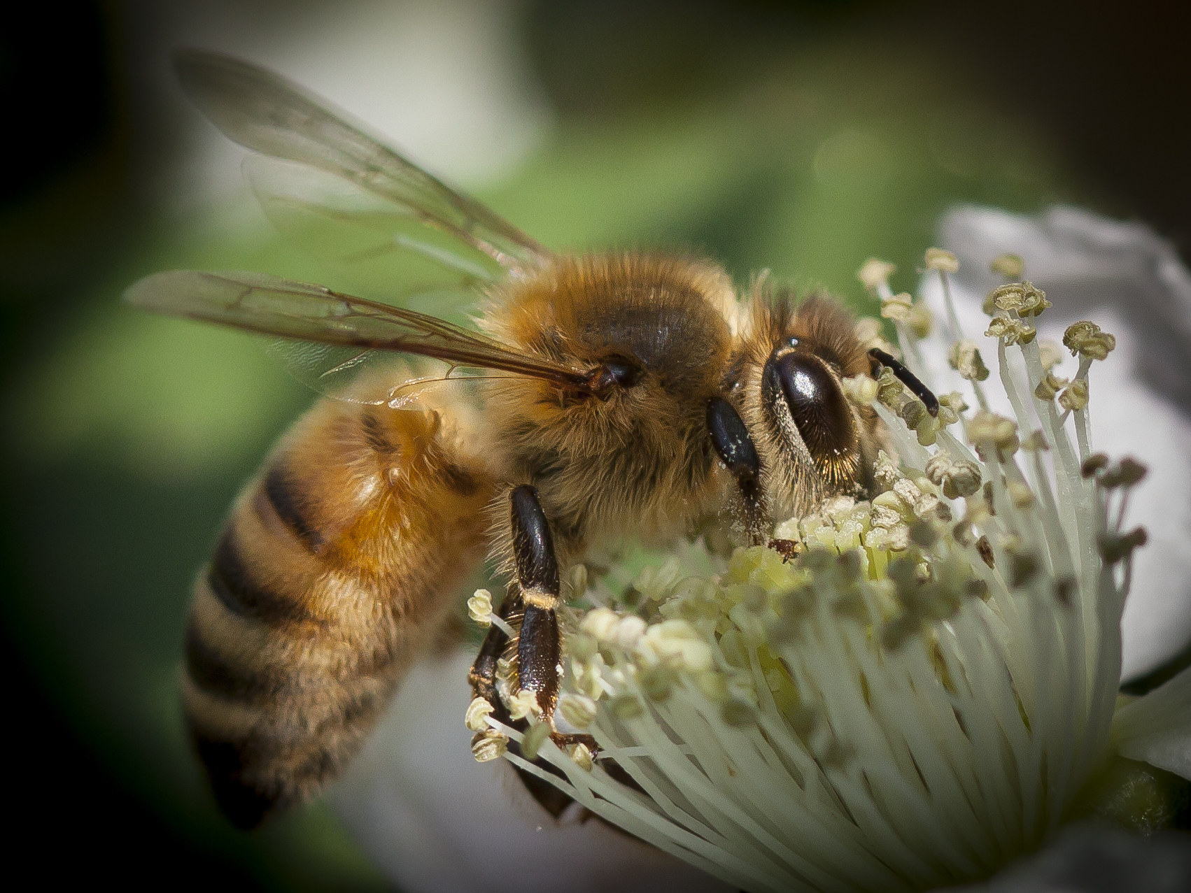 A honey bee pollinates a flower.