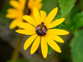 A transverse-banded flower fly lands on a yellow flower.