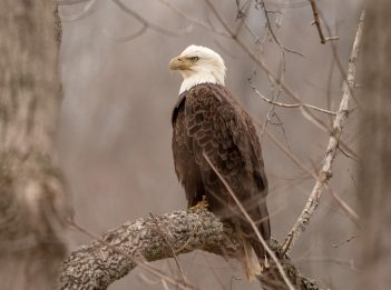 An adult bald eagle perches in a tree.