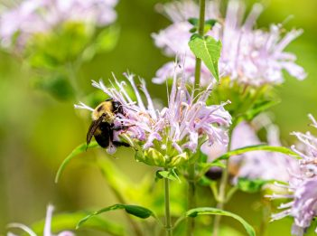 A bee lands on a wild bergamot flower.