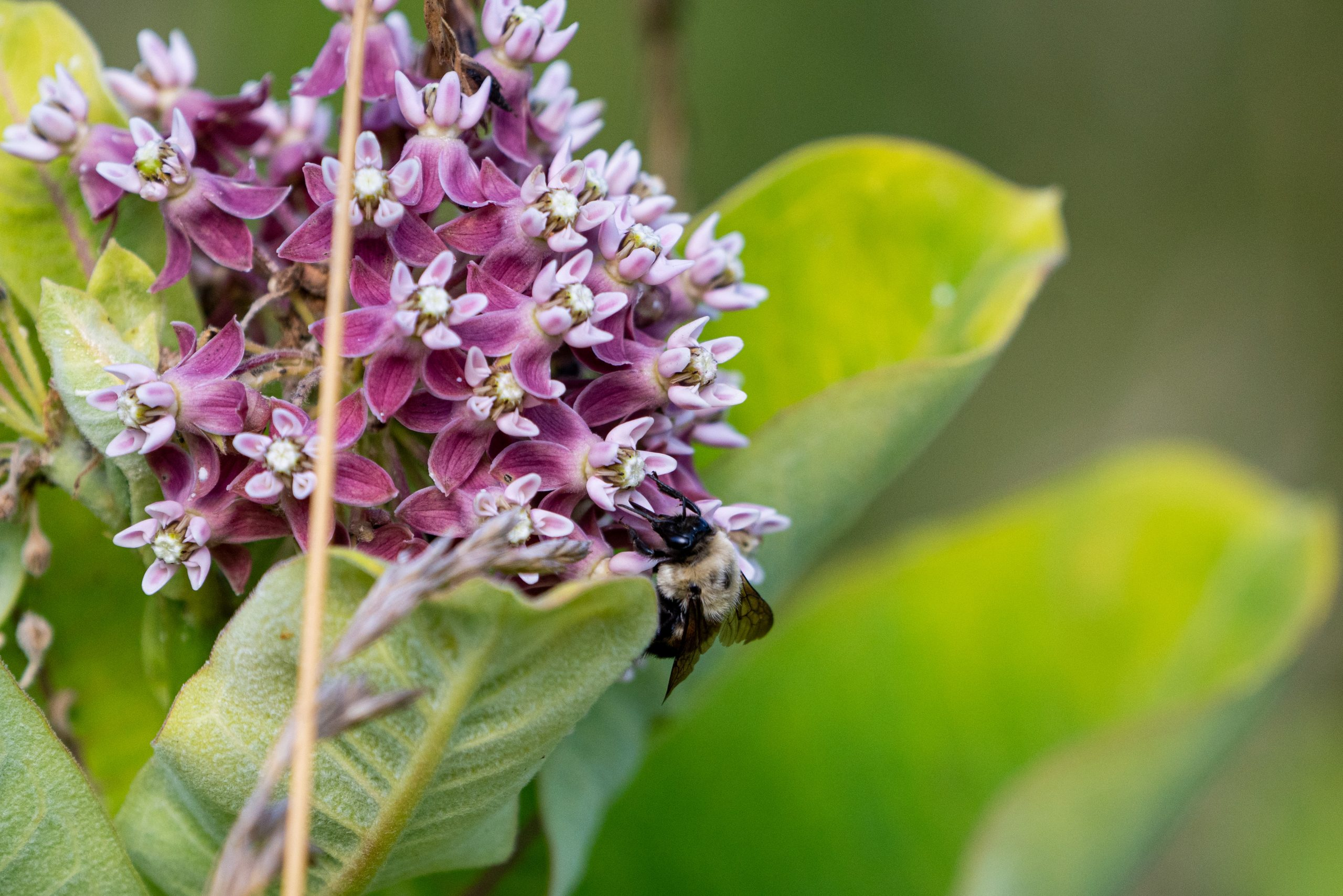 A bee pollinates a milkweed plant.