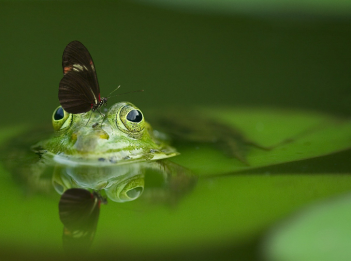 A butterfly sits on top of a frog's head. The frog sits on a lily pad submerged in water.