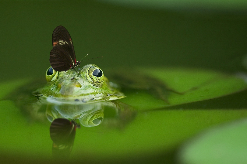 A butterfly sits atop a frog's head. The frog sits on a lily pad in a pond.