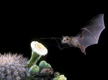 A lesser long-nosed bat flies toward the white flowers of Saguaro cactus.