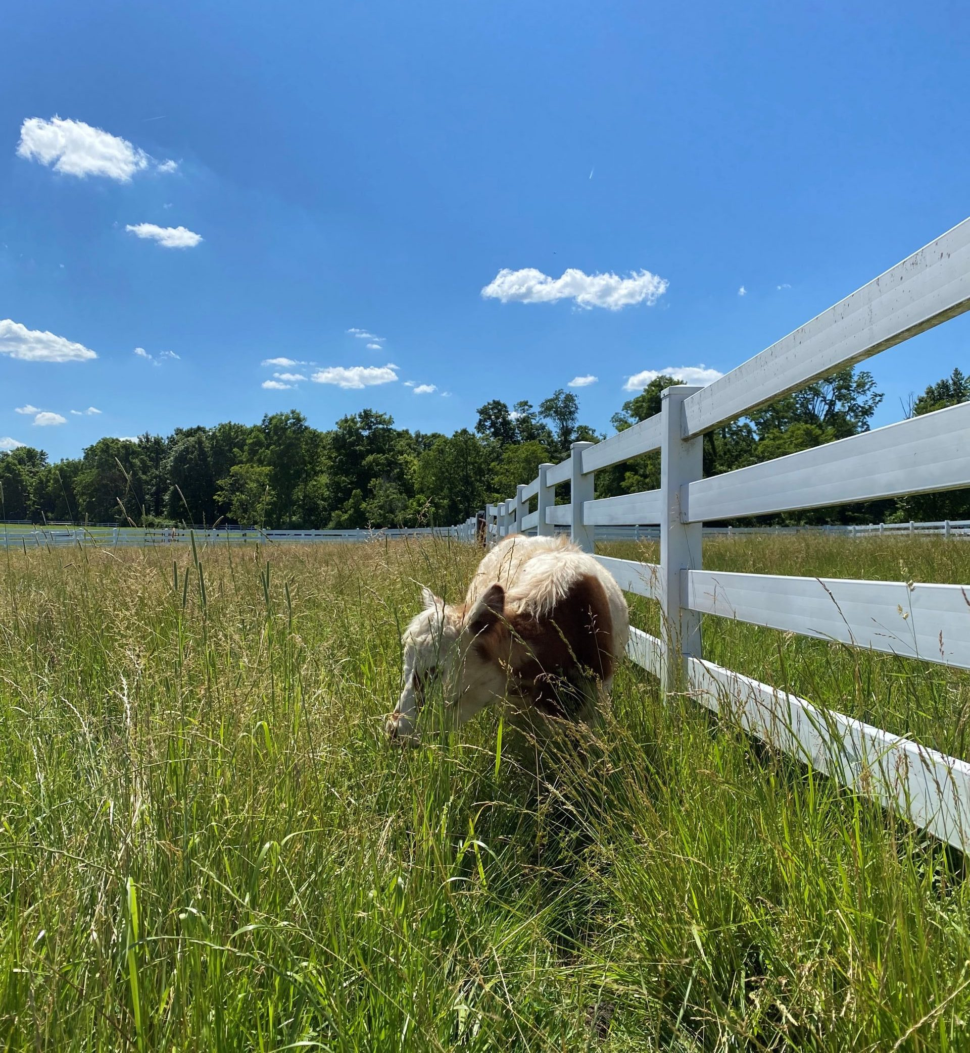 Gracie the mini-cow in her pasture at Parky's Farm.