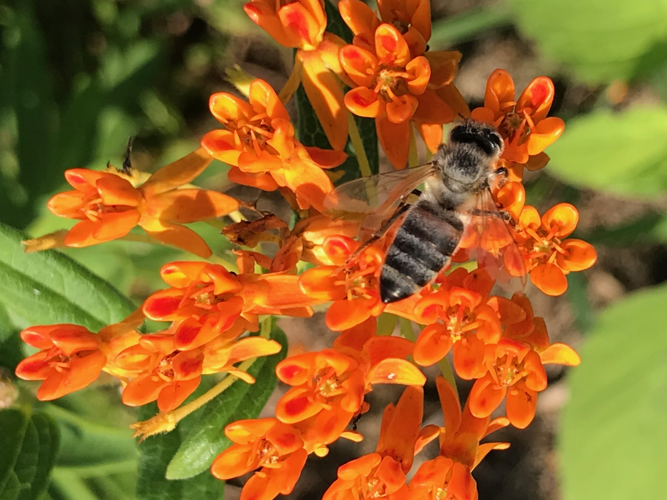 A honeybee sips nectar from the orange butterfly milkweed plant.