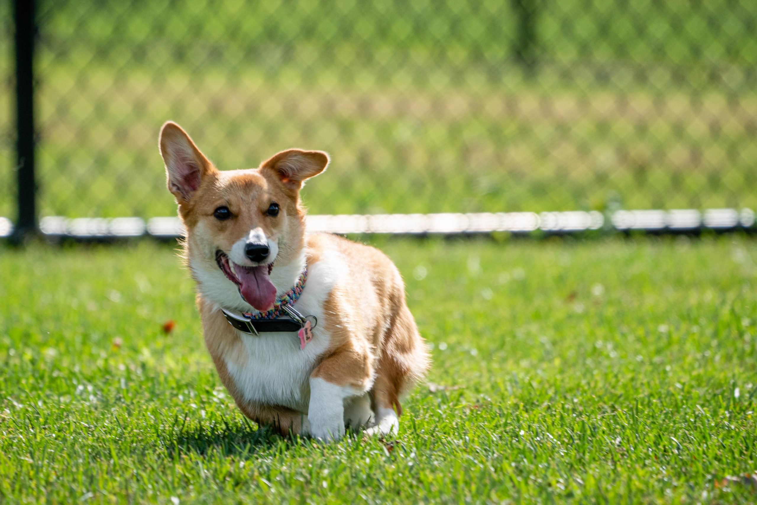 A corgi is running on the grass in a dog park. It is a sunny afternoon.