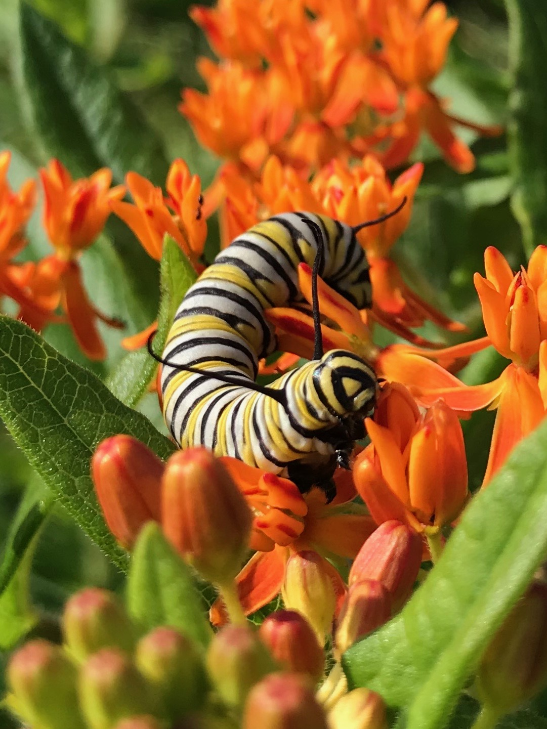 A monarch catepillar sits atop the orange flowers of butterfly milkweed.