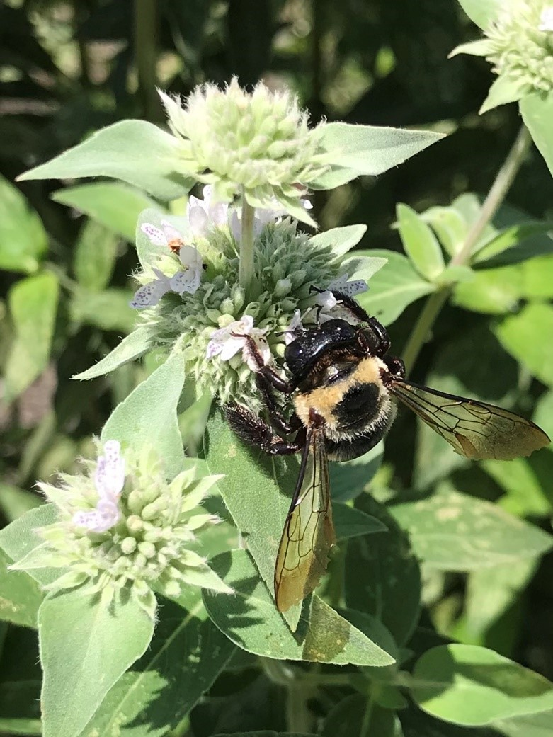 A native bumblebee on lands on hoary mountain mint.