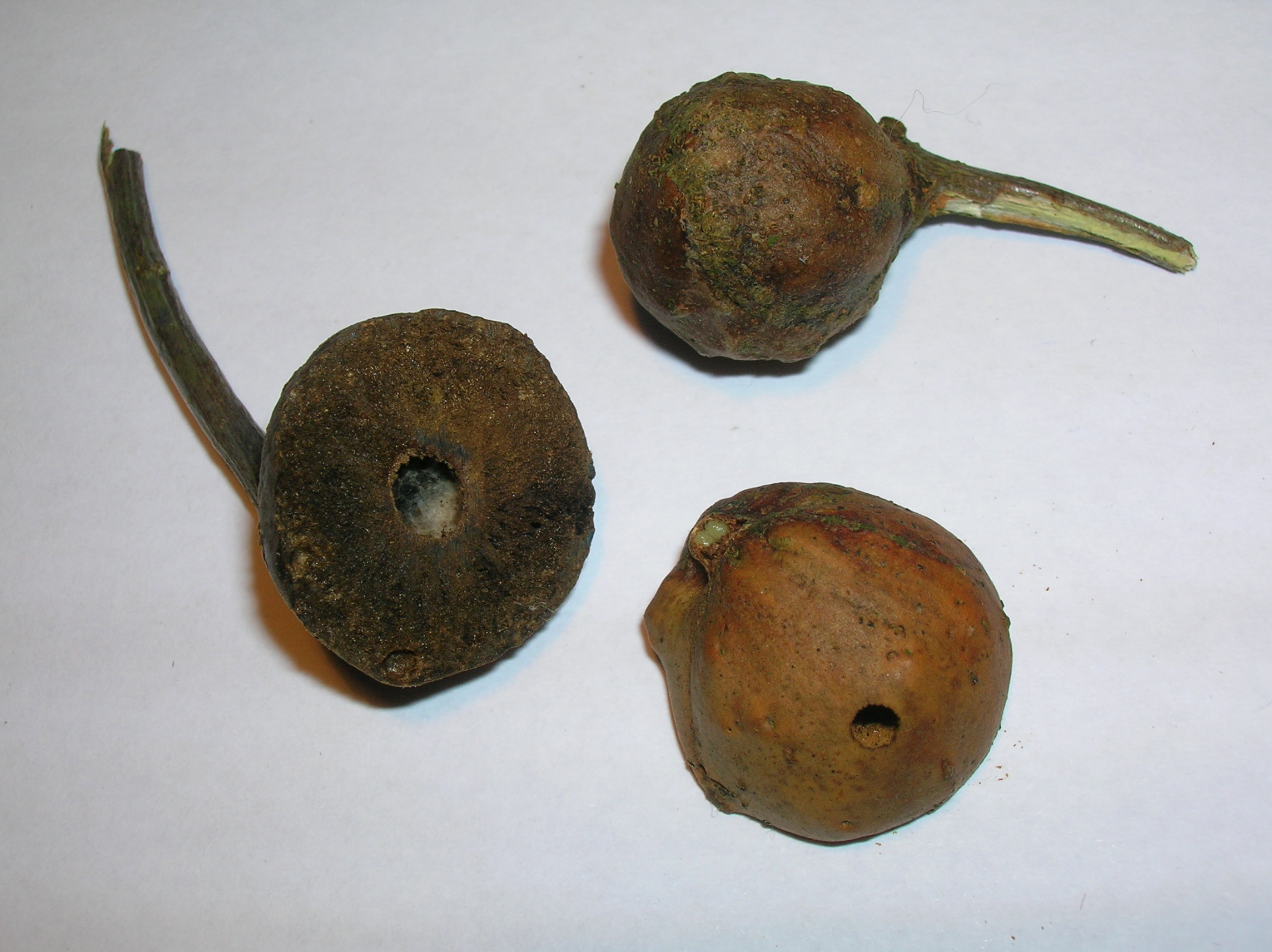 """Sectioned oak marble gall showing central """"cell"""", inquiline chamber, and exit-hole with a possibly parasitised stunted gall specimen."""