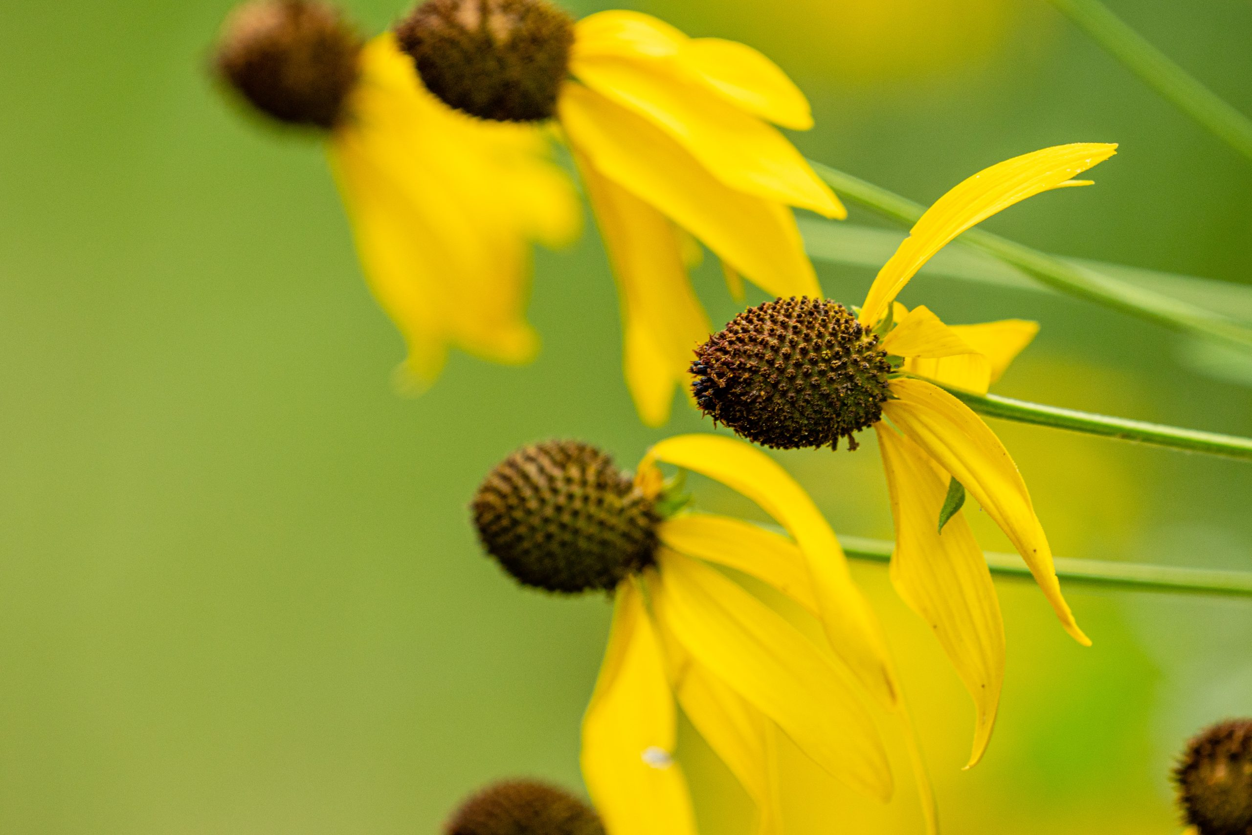 Gray-headed coneflower.