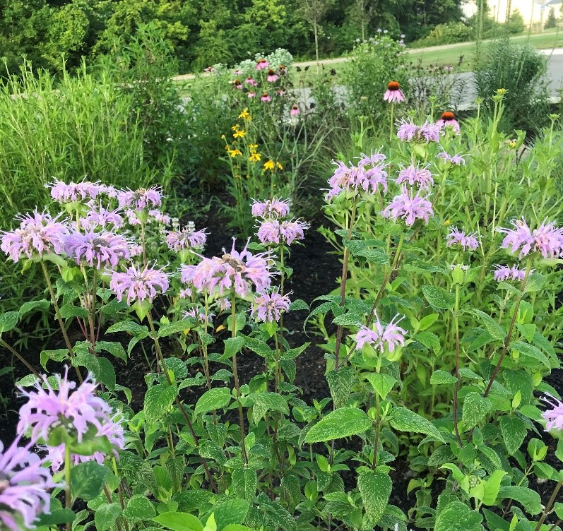 Wild bergamot and purple coneflower plants