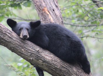 A black bear rests in a tree.
