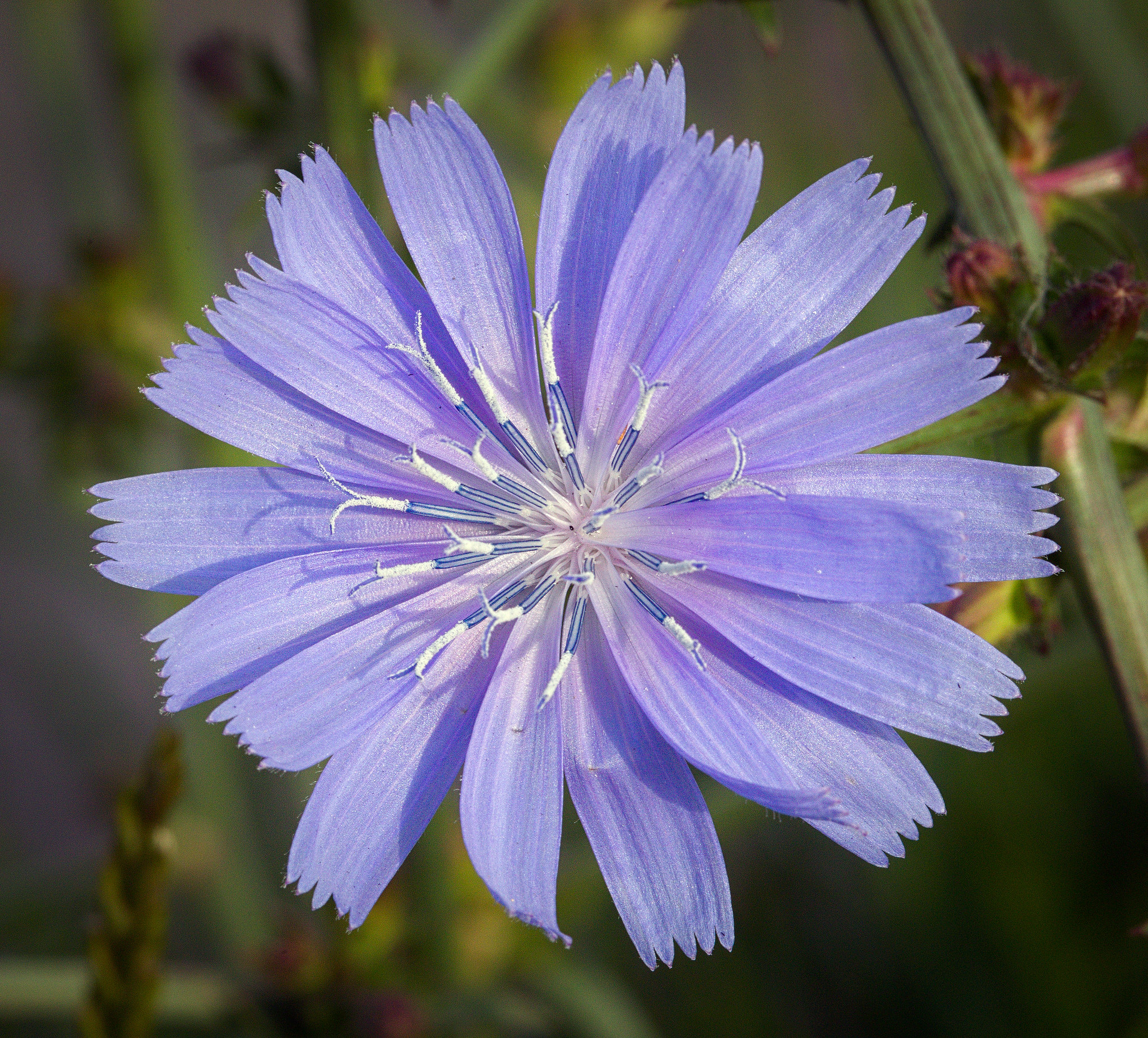 The purplish, periwinkle flower of common chicory.